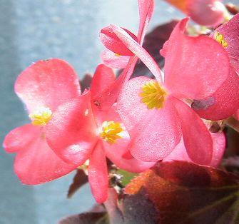 begonia0113