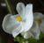 Begonia12144