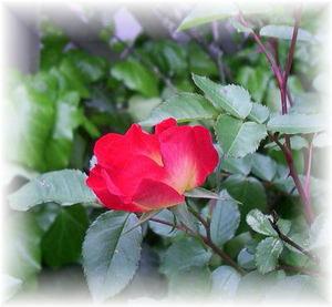 Rose0428