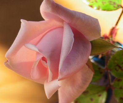 rose12172