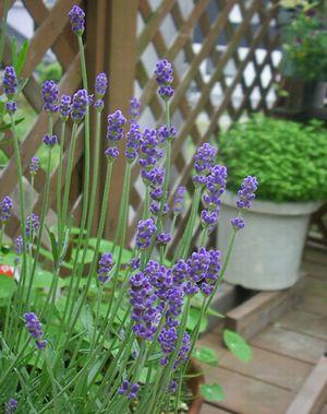 lavender0522.jpg