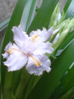 シャガ開花♪  09/03/25
