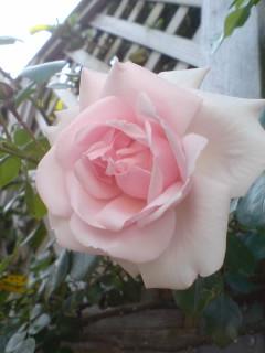 ニュードーン開花♪ 09/05/20