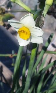 水仙一番花