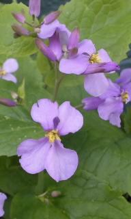 紫花菜  12/05/05